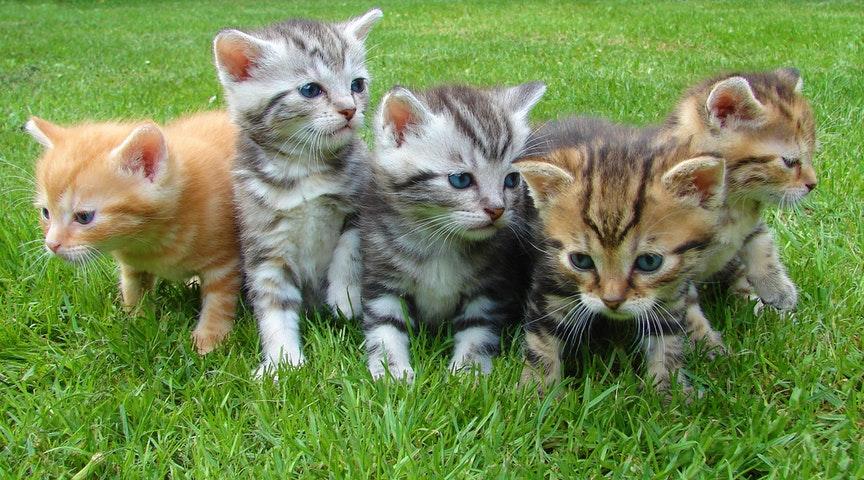 Fem søte kattunger